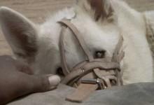 Cane bianco (1982)