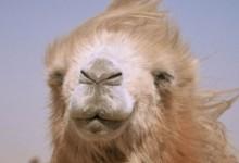 La storia del cammello che piange (2004)